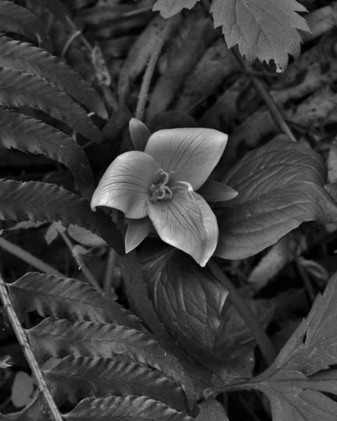 Photograph - Solitary Trillium  by Charles Lucas
