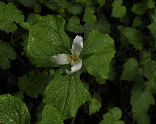 Photograph - Solitary Trillium Of The Forest by Charles Lucas