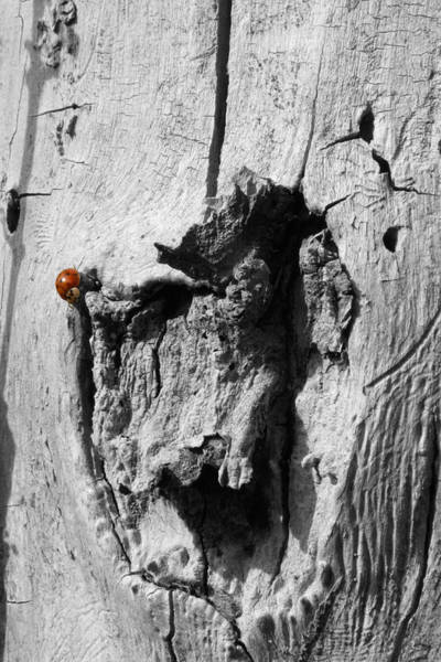 Photograph - Solo Lady Beetle by Dylan Punke