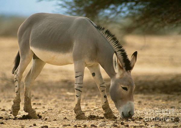 Equus Africanus Photograph - Somali Wild Ass by Mark D. Phillips