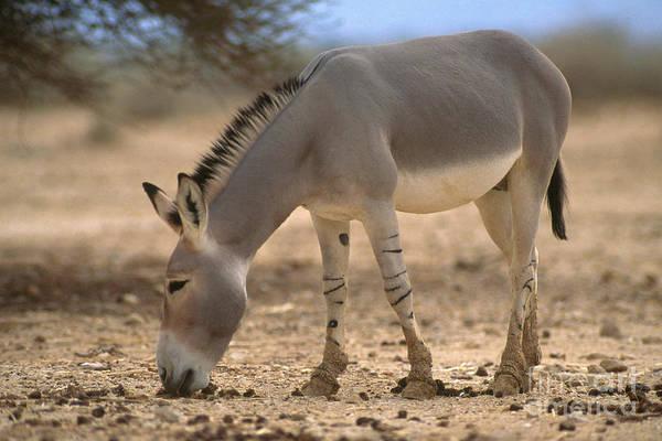 Equus Africanus Photograph - Somalia Wild Ass by Mark D. Phillips