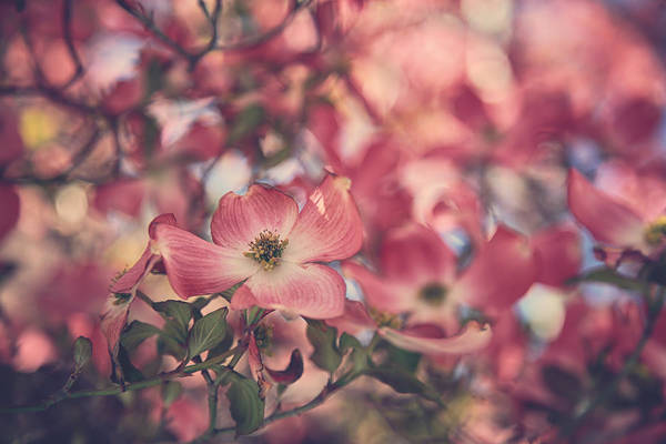 Dogwoods Photograph - Some Souls Just Shine by Laurie Search