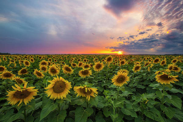Sunflower Field Photograph - Somewhere Sunny  by Aaron J Groen
