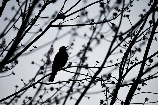Tweets Photograph - Song Bird Silhouette by Terry DeLuco