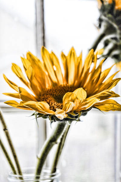 Photograph - Song Of Sunflower by Sharon Popek