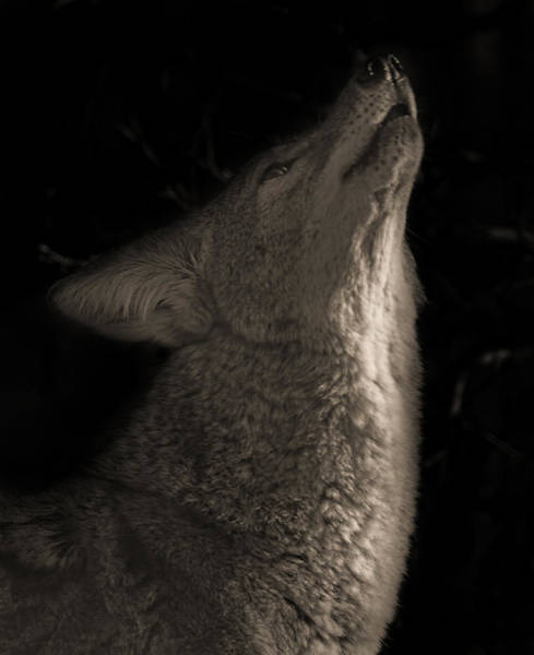 Photograph - Song Of The Coyote  by Brian Cross