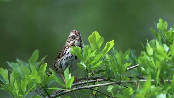 Photograph - Song Sparrow by Carol Montoya