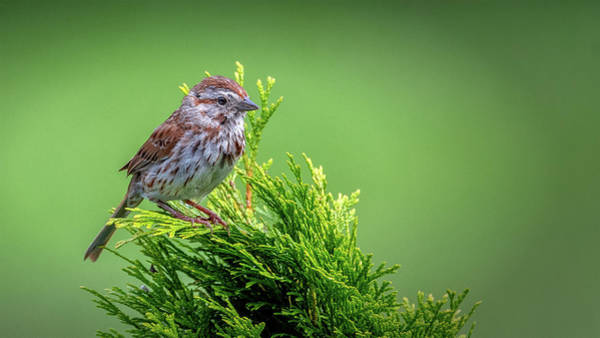 Photograph - Song Sparrow Perched - Melospiza Melodia by Mike Koenig