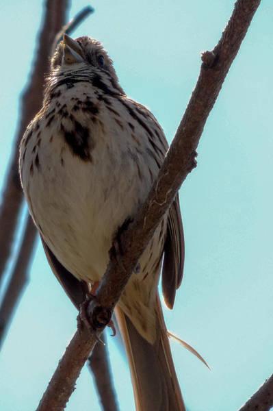 Photograph - Song Sparrow by Randy J Heath