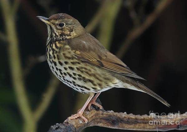 Photograph - Song Thrush  Turdus Philomelos by Martyn Arnold