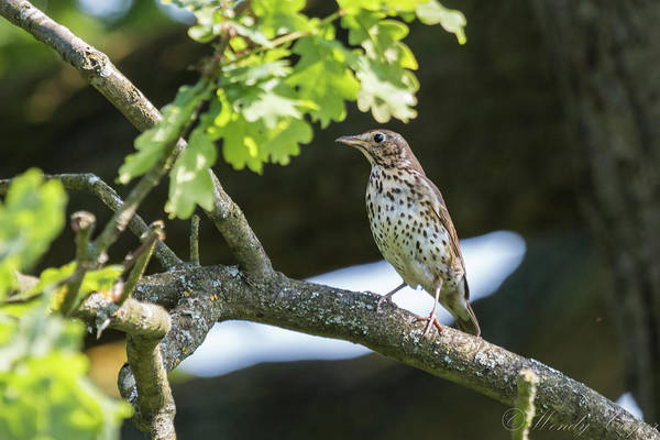 Photograph - Song Thrush by Wendy Cooper