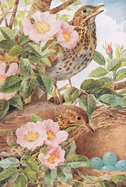 Wall Art - Painting - Song Thrushes With Nest by Louis Fairfax Muckley