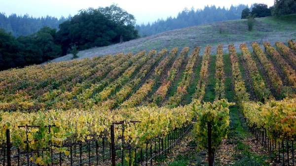Photograph - Sonoma County Vineyards Near Healdsburg by Charlene Mitchell