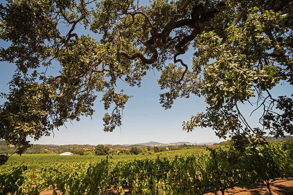 Photograph - Sonoma Valley Tree Northern Ca by Toby McGuire