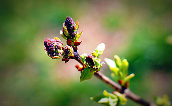 Photograph - Soon To Be Lilacs by Cricket Hackmann