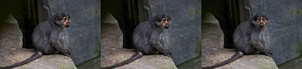 Wall Art - Photograph - Sooty Mangabey by Michele Stoehr