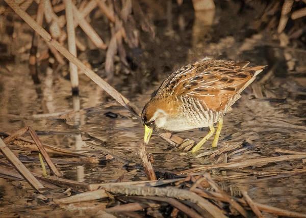 Photograph - Sora Bird by Patti Deters