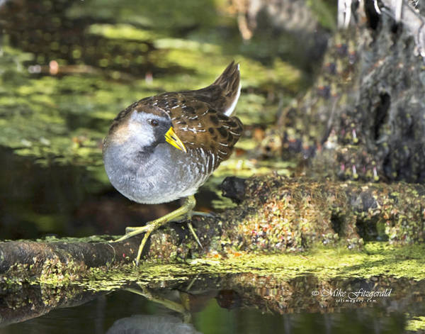 Photograph - Sora Rail by Mike Fitzgerald