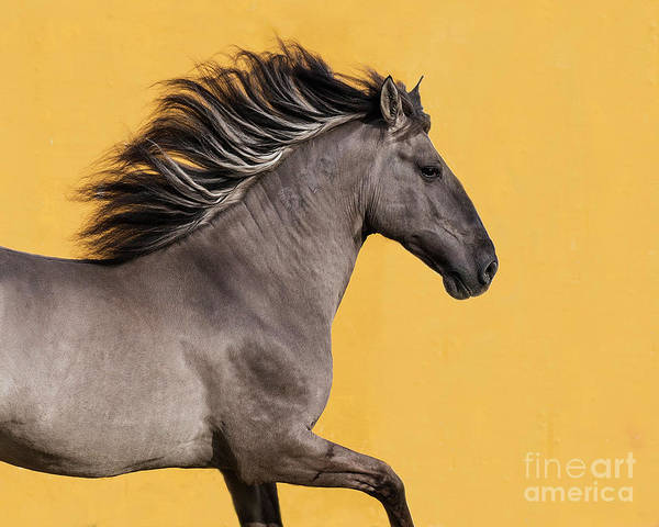 Wall Art - Photograph - Sorraia Stallion Runs by Carol Walker