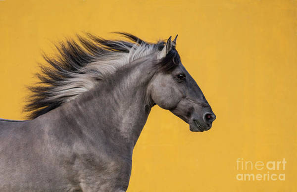 Wall Art - Photograph - Sorraia Stallion Runs II by Carol Walker