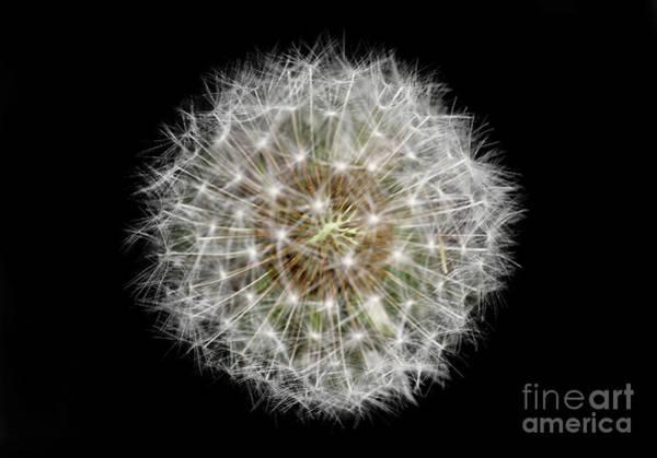 Photograph - Soul Of A Dandelion by Karen Adams