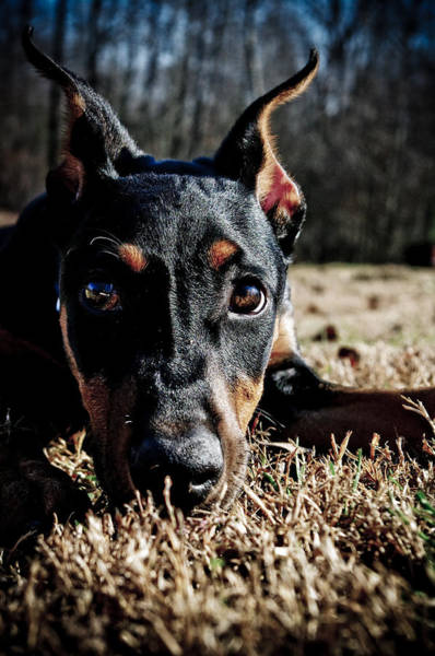 Doberman Photograph - Soulful by Melissa  Riggs