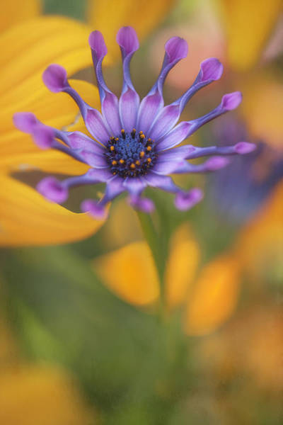 South African Daisy Art Print
