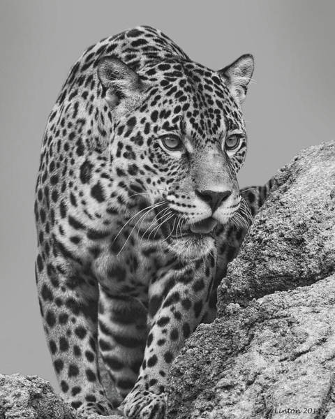 Digital Art - South American Cat by Larry Linton