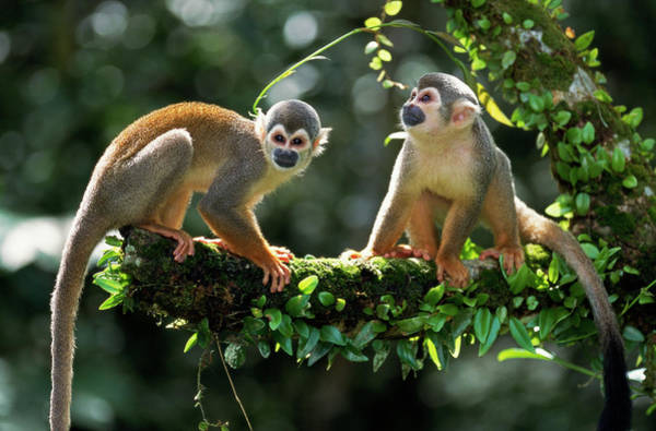 Squirrel Monkey Wall Art - Photograph - South American Squirrel Monkey Saimiri by Thomas Marent