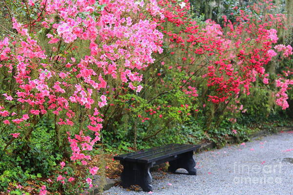 Photograph - Southern Bench With Azaleas by Carol Groenen