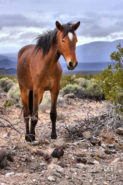 Photograph - Southern California Wild Mustang by Adam Jewell