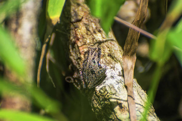 Wall Art - Photograph - Southern Cricket Frog by Rich Leighton
