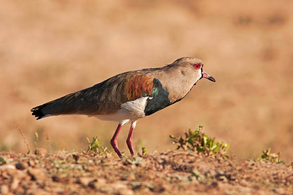 Photograph - Southern Lapwing by Aivar Mikko