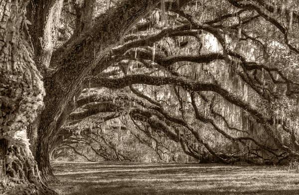 Photograph - Southern Live Oak Trees by Dustin K Ryan
