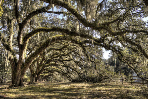 Photograph - Southern Live Oaks With Spanish Moss Color by Dustin K Ryan