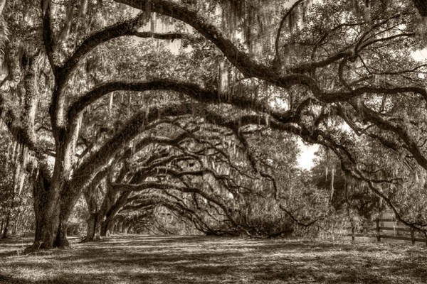 Photograph - Southern Live Oaks With Spanish Moss by Dustin K Ryan