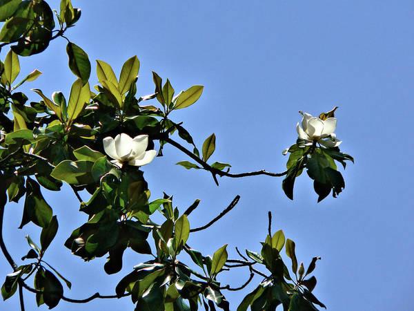 Photograph - Southern Magnolia Sky by Kathy K McClellan