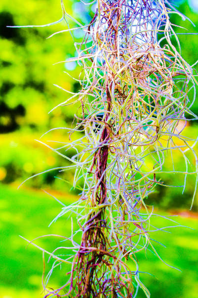 Photograph - Spanish Moss by Stacey Rosebrock