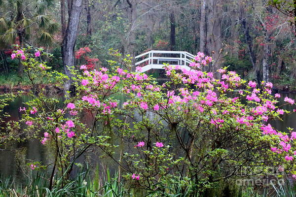 Cypress Knees Photograph - Southern Pond With Azaleas And Bridge by Carol Groenen