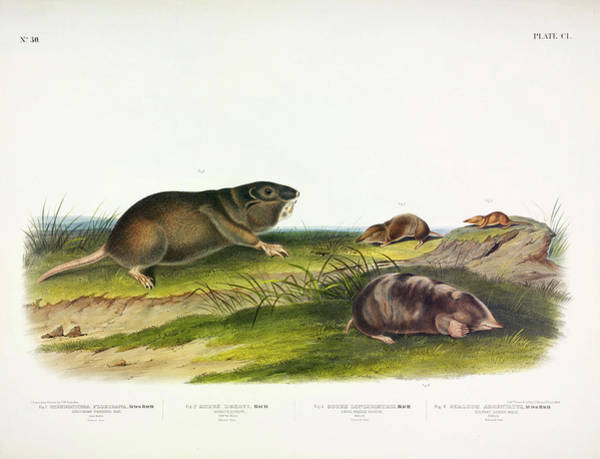 Ferrets Wall Art - Painting - Southern Pouched Rat, Dekay's Shrew, Long-nosed Shrew, Silvery Shrew-mole by John James Audubon