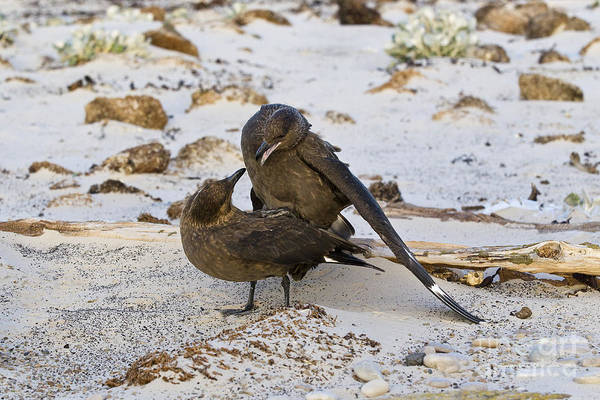 Squawk Photograph - Southern Skuas Mating by Jean-Louis Klein & Marie-Luce Hubert