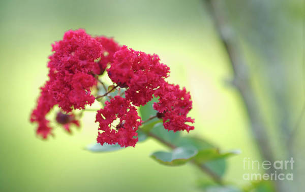 Photograph - Southern Summer Crepe Myrtle Blooming by Dale Powell