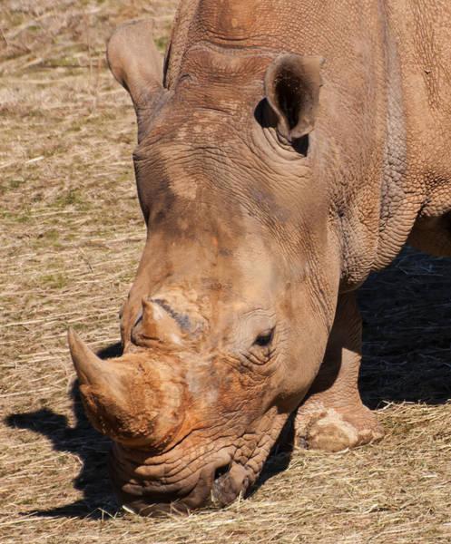 Digital Art - Southern White Rhino by Chris Flees
