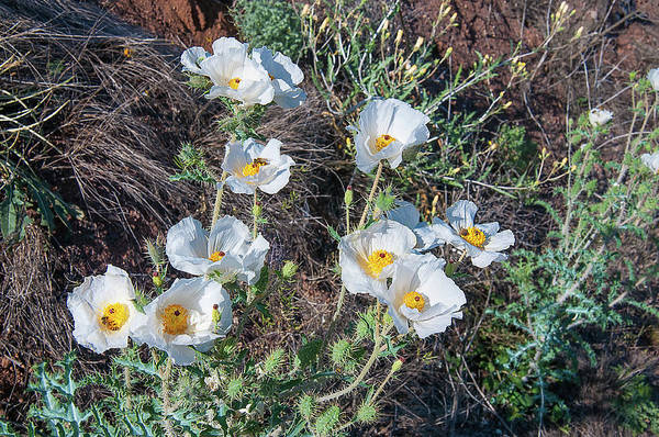 Wall Art - Photograph - Southwestern Prickly Poppy by Rich Leighton