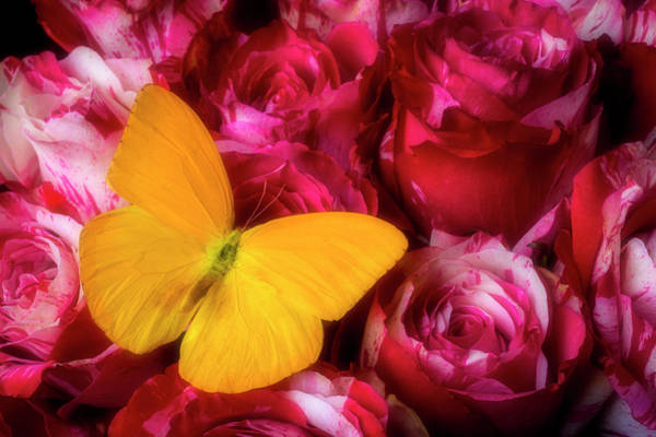 Wall Art - Photograph - Soutime Roses And Yellow Butterfly by Garry Gay