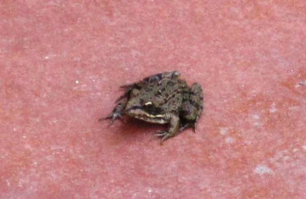 Photograph - Spanish Frog On The Way To Seville by John Shiron