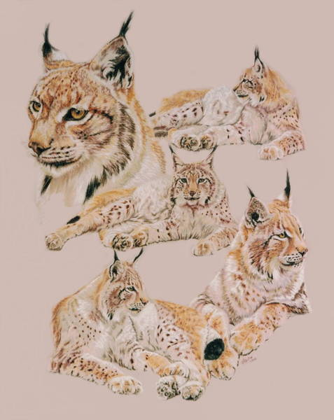 Drawing - Iberian Lynx by Barbara Keith