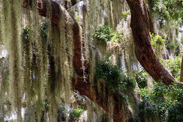 Photograph - Spanish Moss Cascade by Arthur Dodd