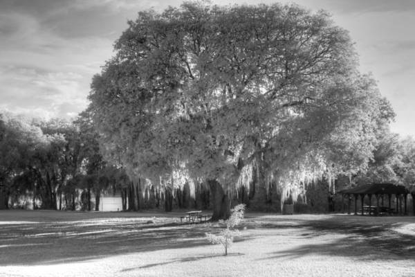 Wall Art - Photograph - Spanish Moss Live Oak Tree Infrared by Jane Linders
