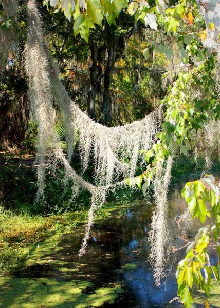 Photograph - Spanish Moss Over The Swamp by Carol Groenen